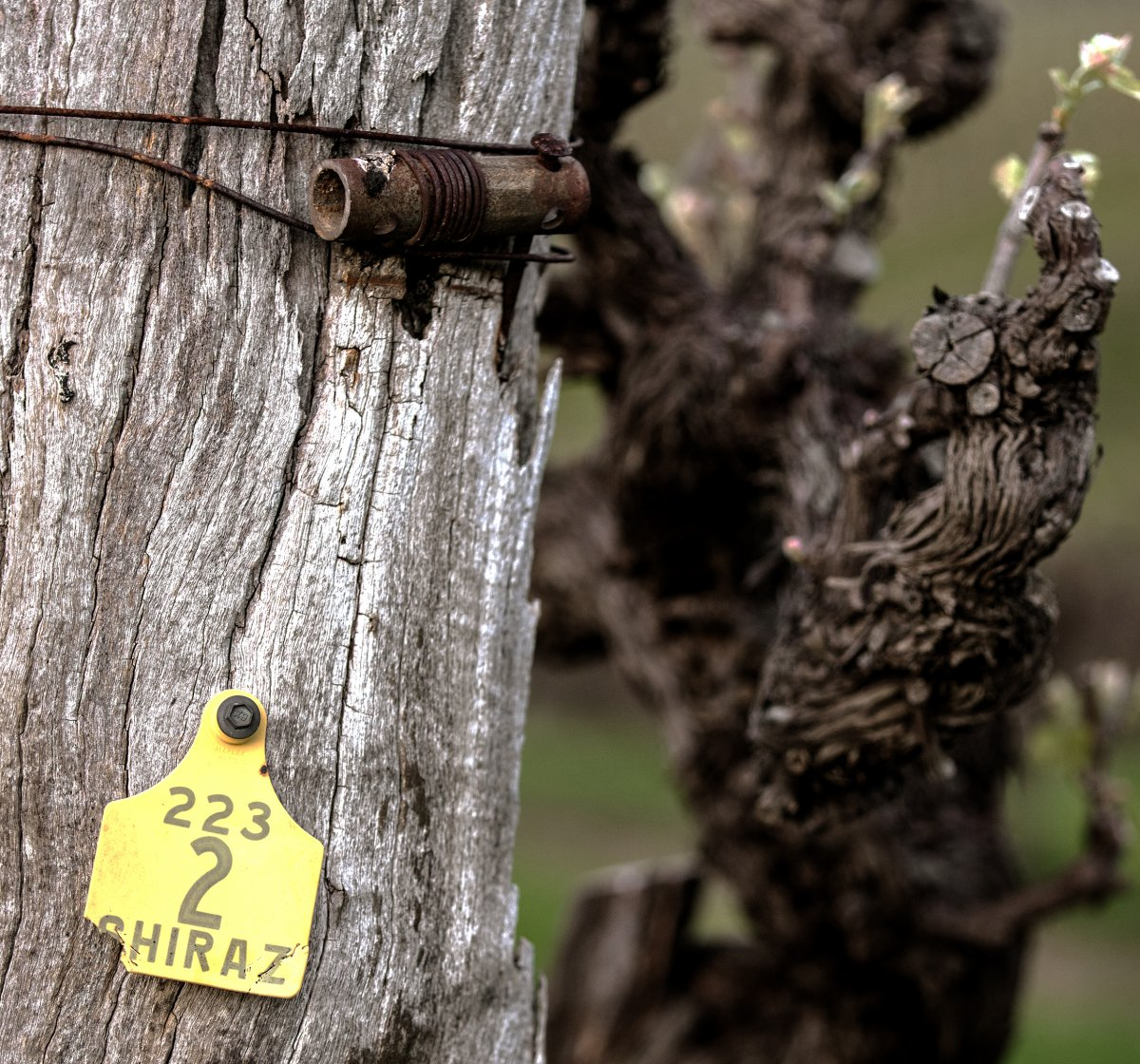 Vine post with Shiraz label